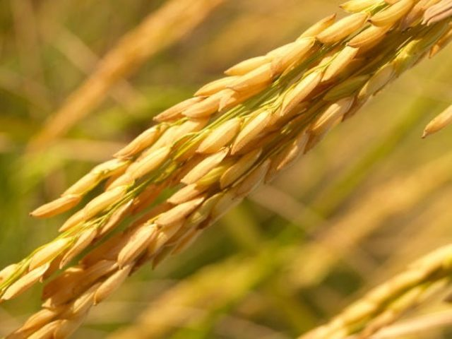 debugging the rice grain bug agriculture monthly